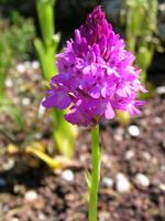 Belle orchidée française