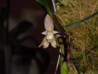 Petite orchidée cireuse