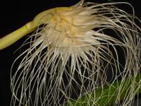 Fleur décoiffée crème
