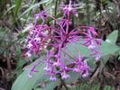 Epidendrum près de Machu Picchu