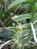 Pelanthanteria ctenoglossum