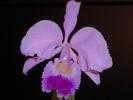 Belle orchidée colombienne