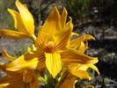orchidée terrestre jaune du chili
