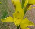 une autre orchidée du chili jaune