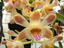 fleur cireuse blanche striée de jaune