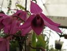 fleur pointue fuschia