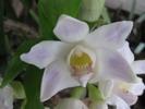 fleur blanc bleutée