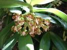 orchidée du Népal