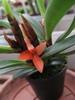 belle petite orchidée pointue fuchsia