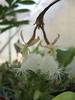 Orchidée blanche se balançant dans l'air