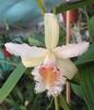 Très grosse fleur blanche