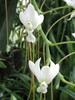Fleur blanche de Madagascar