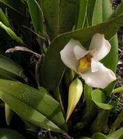 belle fleur blanche cireuse