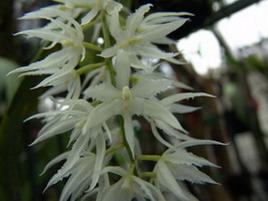 Fleur très fine éfiloché et blanche