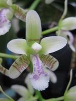 En macro cette orchidée japonaise