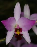 une orchidée menacée de disparition