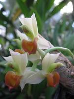 Plante de collection rare blanche avec le labelle orange