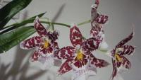 une autre réussite avec cette orchidée blanche avec des stries lit de vin