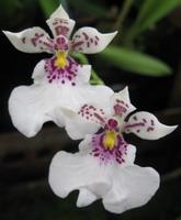 une autre orchidée d'Argentine blanche avec des points rouges