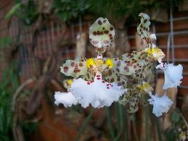 Bel Oncidium originaire d'Argentine de couleur blanche pointillé de marron