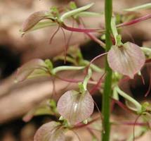 Liparis liliifolia en fleur