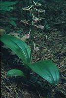 Liparis liliifolia dans son habitat