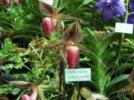 Paphiopedilum rothschilianum