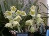 Catasetum vinaceum var alba