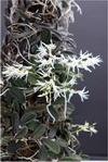 Dockrillia linguiforme 1